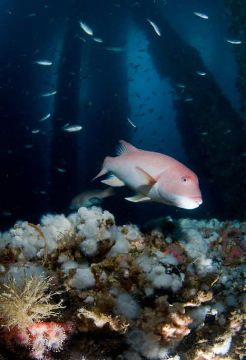 sheephead in california underwater photograph