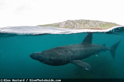 Basking Shark Mouth Closed