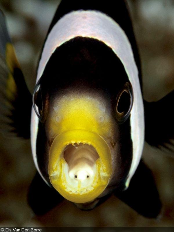 Parasite fish