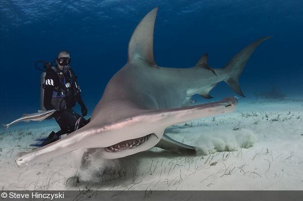 Photographing the Great Hammerhead