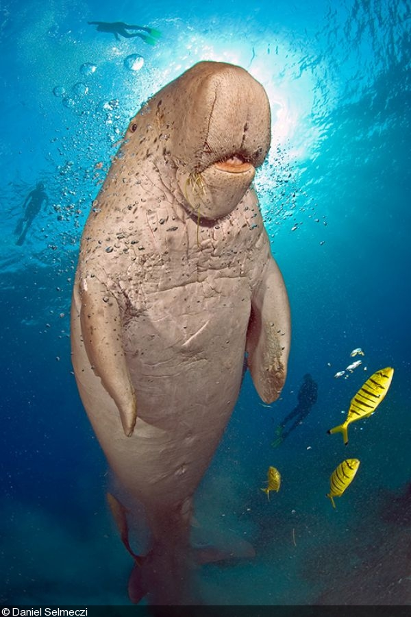 dugong marine mammals in the philippine You get a dugong this adorable marine mammal beautifully encloses the traits of all of these wonderful creatures  taiwan and the philippines some dugongs have .