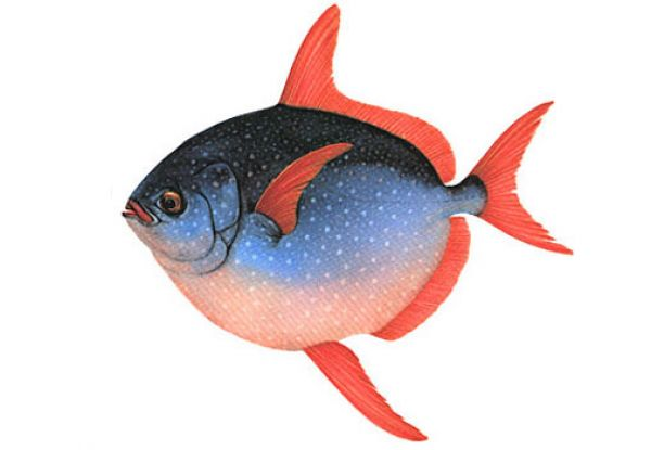 Рыба-луна - первая теплокровная