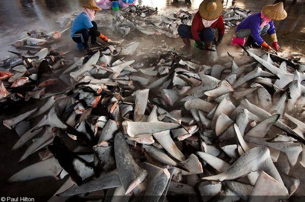 200 000 акульих плавников изъяли у контрабандистов Эквадора