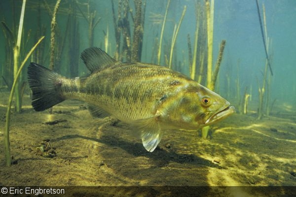 Photographer of the Week – Eric Engbretson Largemouth Bass Pictures Underwater