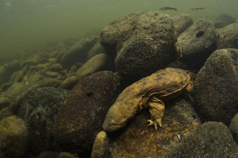 Hellbender Salamander The hellbender salamander