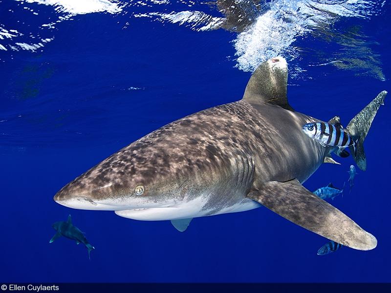 Big Animals Oceanic Whitetips Bahamas