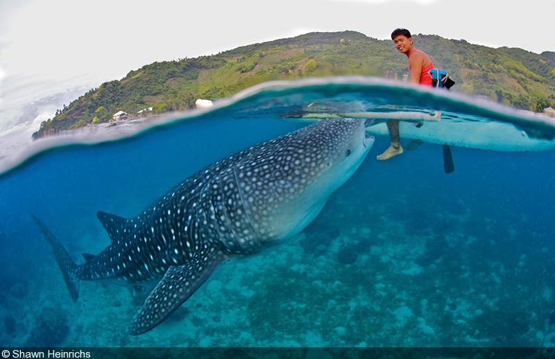 the natural history of whale sharks essay Gentle giants of the sea, whale sharks (rhincodon typus) are the largest fish on earth incredible travelers, they are capable of covering several thousand kilometers across the ocean in a single year.