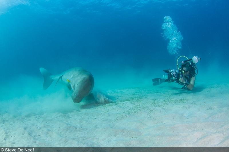 Big Animals Dugongs Red Sea Philippines
