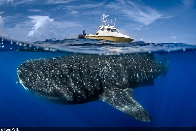 How big is whale shark?