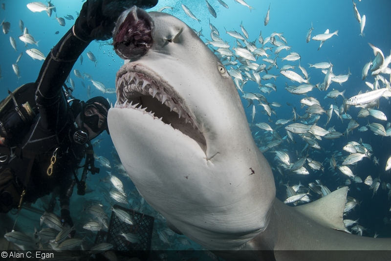 Photographing Shark Feeding And Predation