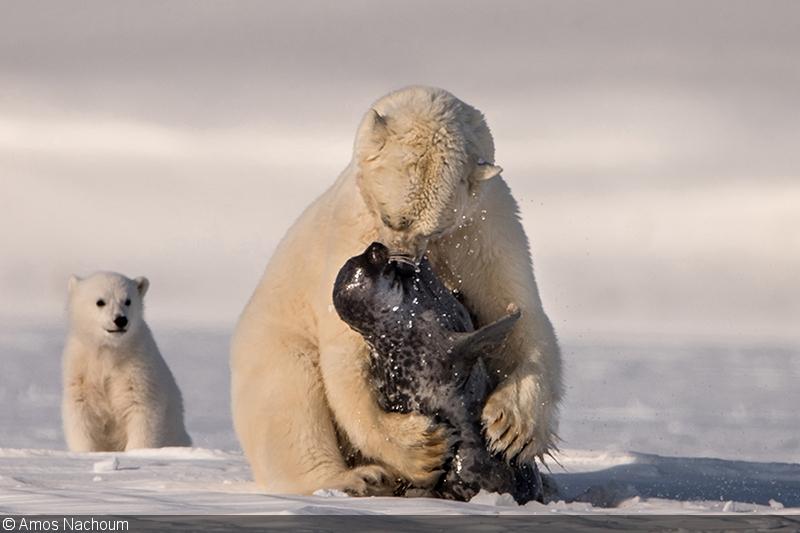 Photographing Polar Bears With Amos Nachoum