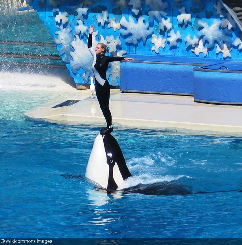 Orcas In Captivity California Bans Orca B...