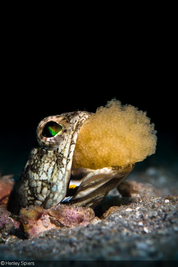 Dusky Jawfish