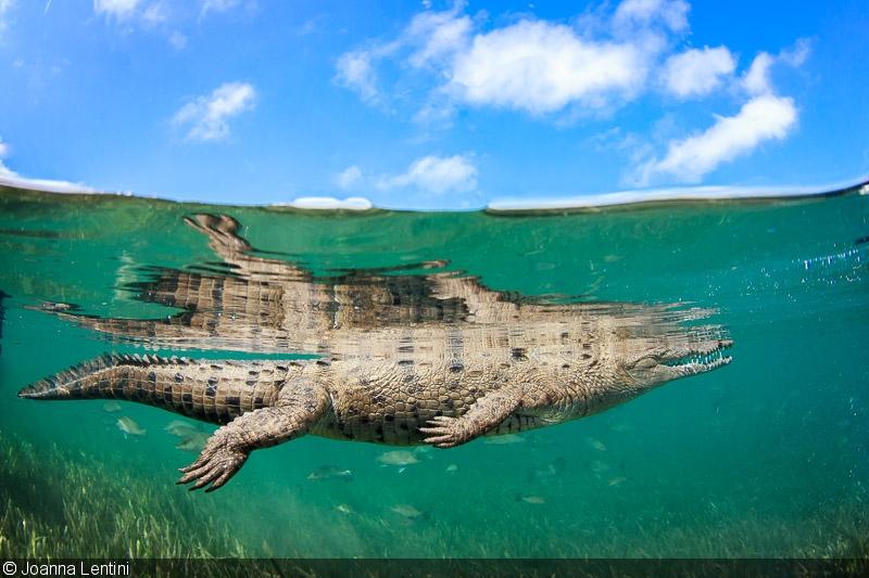Photographing crocodiles in jardines de la reina for Jardin de la reina granada