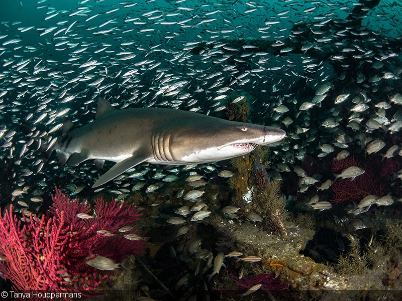 Photographing Sand Tigers for Spot A Shark USA