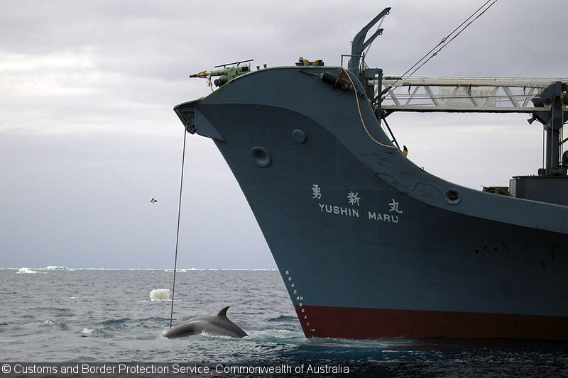 Japan Quits IWC to Resume Commercial Whaling