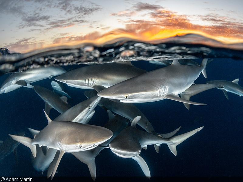 Silver - Shark Behavior - Dive Photo Guide-SharkCon Competition 2019
