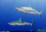 First Shark Killed in Western Australia Cull