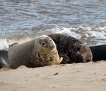 Gray Seals Feeding on Harbor Porpoises