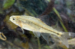 First Fish Removed from Endangered Species List