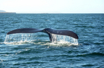 Right Whales Tracked from Outer Space