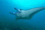 Indonesia to Create the World's Largest Manta Sanctuary