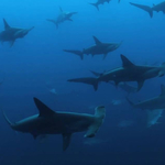 Video: One Dive, Two Hundred Hammerhead Sharks