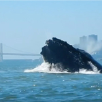 Video: Rare Humpback Whale Encounter in San Francisco Bay