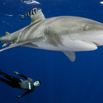 Oceanic White Tip Sharks Receive Protection