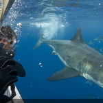 Cage Diving Increases Shark Metabolism
