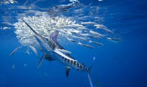 Sailfish Image Wins Best Of Show In The BSoUP/Diver Magazine Competition
