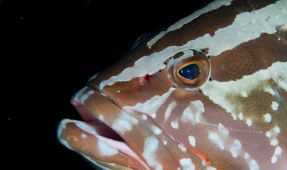 Voice Your Opposition To Ending The Ban On Nassau Grouper Fishing