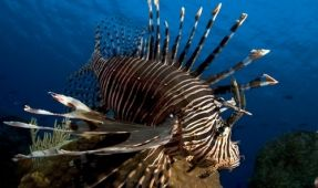 "Giddy-Up with the ""Lionfish Derby and Rodeo"""