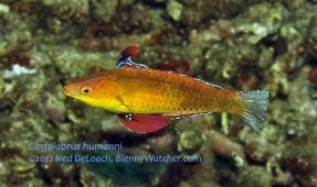 New Wrasse Named in Honor of Paul Humann