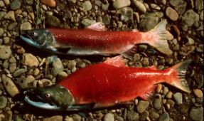 Photos: Alaskan Sockeye Salmon