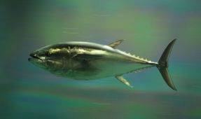 Bluefin Tuna Sells for Record $1.7 Million