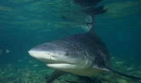 Protecting the Bull Sharks of Mexico