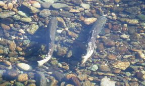 Genetically Modified Salmon Can Pass On Genes to Offspring