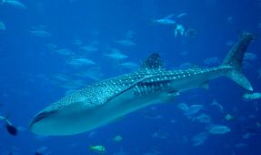 Long-Term Study Examines Whale Shark Migration