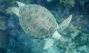 Where Do Green Turtles Go After Hatching?