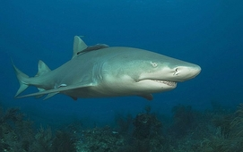 Lemon Sharks Come Home to Give Birth