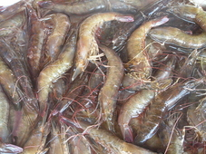 Shrimp Decline Causes First Fishery Closure in 35 Years