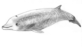 Beaked Whale is Record Diver