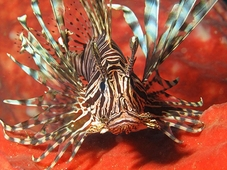 Lionfish Become More Cautious After Culling