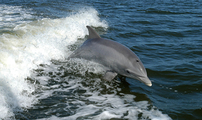 Dolphin Whistles May Aid in Conservation Efforts