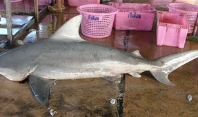 Mexican Shark Poachers Caught
