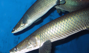 Giant Freshwater Fish Threatened in the Amazon