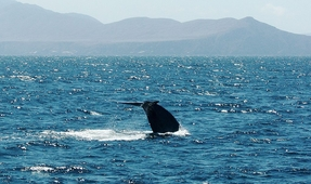 California's Blue Whales Back at Historic Levels