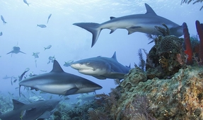 Ten-Year Study Shows Sharks Need Healthy Coral Reefs