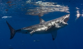 Australian Shark Cull Rejected